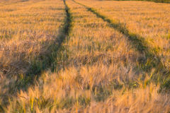 Wheat field and sunset Stock Photo