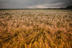 Wheat field during sunset Stock Photos