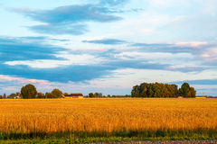 Wheat field at sunset Stock Image