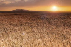 Wheat field at sunset landscape Royalty Free Stock Photography