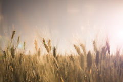 Wheat field at sunset landscape Royalty Free Stock Images