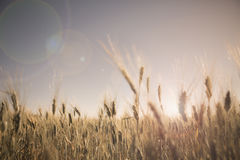 Wheat field at sunset landscape Royalty Free Stock Photo