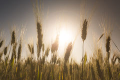 Wheat field at sunset landscape Royalty Free Stock Image