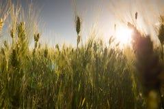 Wheat field at sunset landscape Stock Image