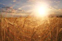 Wheat field in sunset light. Autumn wheat field in sunset light Stock Images