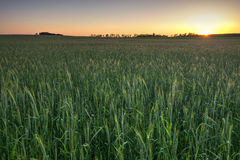Wheat field at sunset, Midwest, USA Royalty Free Stock Images