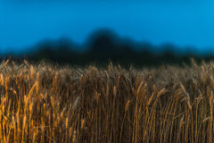 Wheat field in sunset night Royalty Free Stock Photo