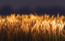 Wheat field in sunset night Royalty Free Stock Images