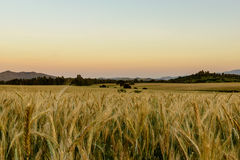 Wheat Field at Sunset. Royalty Free Stock Photo