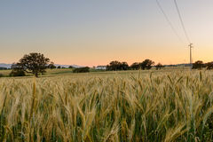 Wheat Field at Sunset. Stock Photography