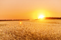 Wheat field on sunset Royalty Free Stock Photography