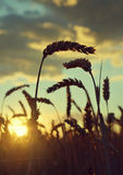 Wheat field in the sunset Royalty Free Stock Images