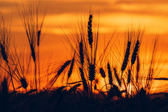 Wheat field sunset silhouettes Stock Photography