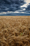 Wheat field at sunset Royalty Free Stock Photo