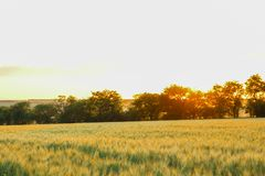 Wheat field at sunset, space for text stock photo