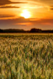 Wheat field at sunset, sun in the frame Royalty Free Stock Photos