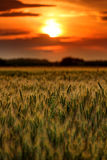 Wheat field at sunset, sun in the frame Royalty Free Stock Photo
