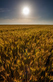 Wheat field at sunset, sun in the frame Stock Photo