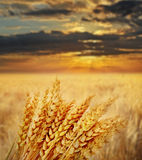 wheat field at sunset time Royalty Free Stock Images