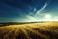 Wheat field in sunset time Stock Photo