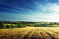 Wheat field in sunset time Royalty Free Stock Photos
