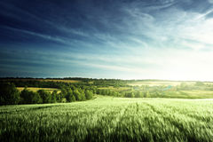 Wheat field in sunset time Stock Image