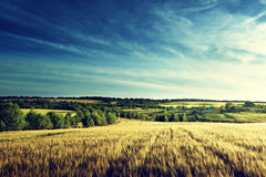 Wheat field in sunset time Stock Photography