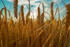 Wheat fields sunset royalty free stock photos