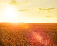 Wheat field at sunset Royalty Free Stock Image