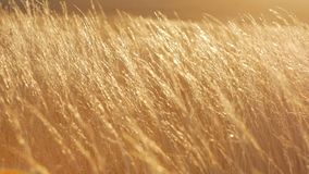 Wheat field in a sunset stock footage