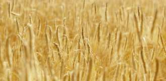 Wheat field in sunshine. Royalty Free Stock Images