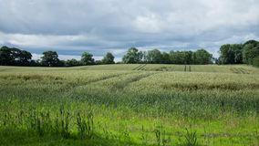 Wheat Field Surrounded By Forrests Royalty Free Stock Photo