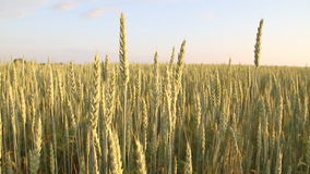 Wheat field. Wheat sway in the wind stock video footage