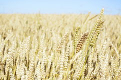 Wheat. A field of wheat in Tasmania Royalty Free Stock Photos