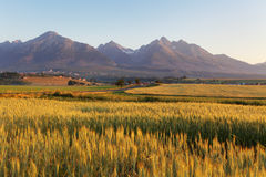 Wheat field with Tatras in background Stock Photo