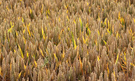Wheat field with thick ripe ears, back lighted. Ready for harvest Royalty Free Stock Image