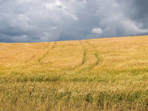 Wheat field before a thunder-storm Royalty Free Stock Photography