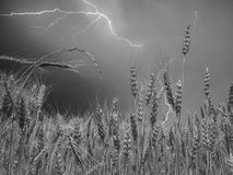 Wheat Field in Thunderstorm Royalty Free Stock Photography