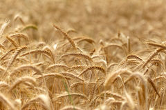 Wheat field - time for harvest Royalty Free Stock Image