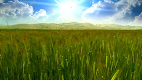 Wheat field timelapse clouds stock footage