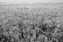 A wheat field about to be harvested in summer. Wheat field black and white stock image