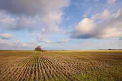 The wheat field to the horizon. Single tree in a yellow beskriver field, Estonia Royalty Free Stock Image