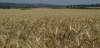 The wheat field to shoot not in focus Stock Photo