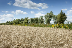 Wheat field on top Stock Photography