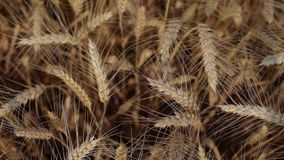 Wheat field top view stock footage