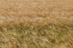 Wheat field . top view Stock Image