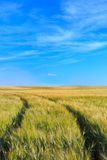 Wheat field tracks with a clear sky in spring Stock Photo