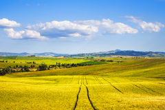 Wheat Field and tracks in summer. Tuscany, Italy Royalty Free Stock Images