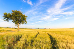 Wheat field tracks, tree and  clear sky in spring Royalty Free Stock Images