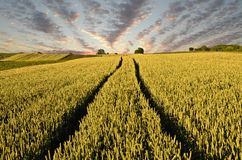 Wheat field and tractor's tracks Royalty Free Stock Photos